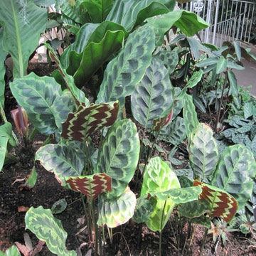 One of many varieties of prayer plant kgwhitehurst for Prayer palm plant