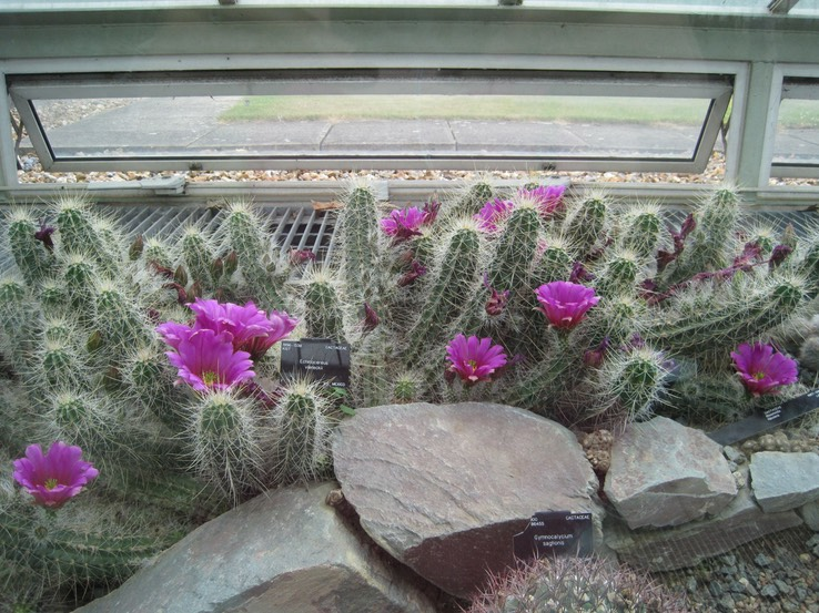 The Little Ball Of Cactus Barely Visible In Front Of The Big Rock Is  Gymnocalycium Saglionis, More Commonly Known As Giant ...